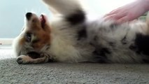 Maggie Mae, the Australian Shepherd Puppy, back play time (8 weeks old)