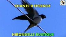 Chants d'Oiseaux - Chant de l'hirondelle rustique