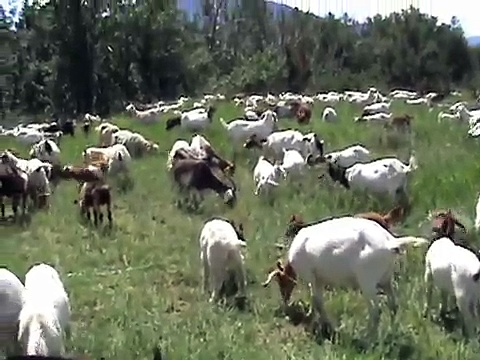 Goats and Russian Knapweed