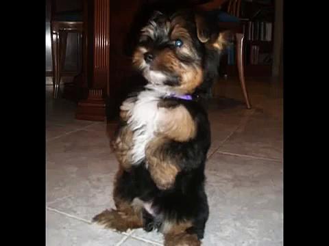 Adiestrando cachorro yorkshire