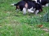 Basset Hound puppies 8 weeks old p3
