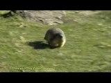 Spéciale courses de marmottes