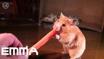 Hamsters EMMA vs. carrot - Hamster kämpft mit Möhre - Mrs.Emma the Hamster so cute ! nom nom nom