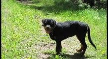 Rottweiler Puppy 4 Months Old
