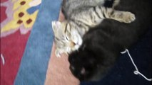Cute Scottish Fold Kittens with Mother