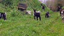 Chevreaux - Race Chèvre des Fossés - Avril 2014