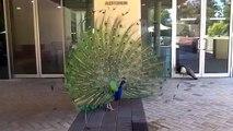 Il Pavone Innamorato - UWA Peacocks