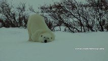 Polar Bears of Cape Churchill