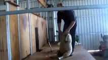 Shearing   Demo of a shearer shearing a sheep with electric handpiece