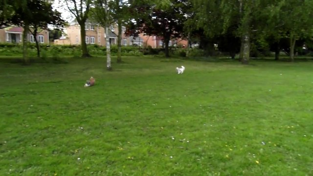 FUNNY MERLIN.... BRING TOY BACK 1ST TIME...POPPYJO & MERLIN PLAYING @ COZZY PARK-JUNE 2014