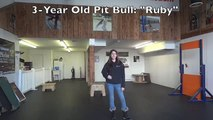 """3-Year Old Pit Bull """"Ruby:"""" Best Pit Bull Training, Northern Virginia"""