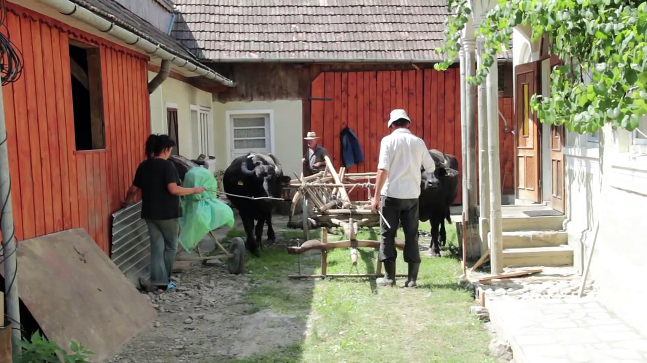 Transylvanian traditional work with buffaloes