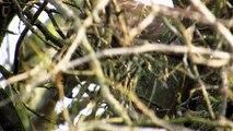 Kobac jede - Sparrowhawk eating