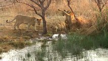 Growing Up in a Pride - Playtime for African Lion Cubs