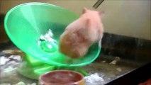 Syrian (Golden) Hamster on Flying Saucer Hamster Wheel