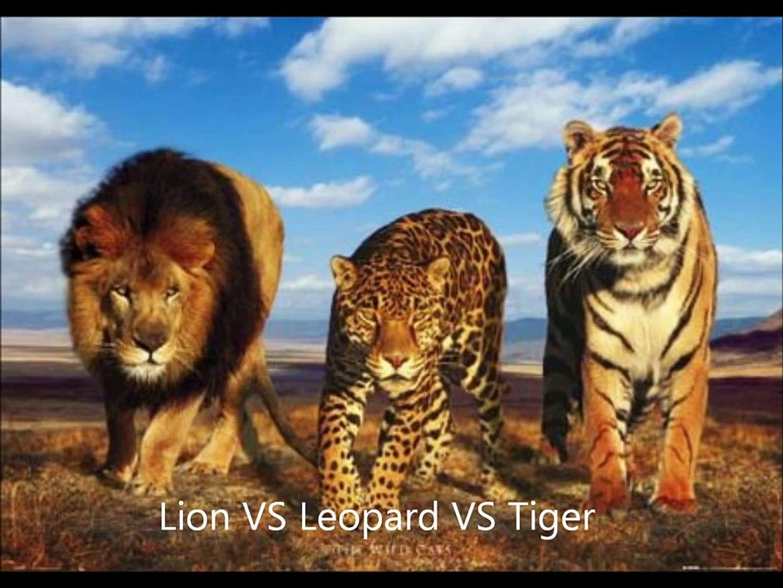 Leopard VS Tiger VS Lion - video Dailymotion