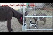 Plott Hollow Farm's baby French Poitou Donkey, Ophelia playing the baby goats