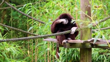 Les gibbons, de fins gourmets qui aiment chanter