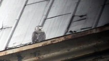Snowy Owl on Widows Walk Rochester, NY 12/20/13
