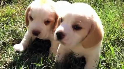 Beagle Resource | Learn About, Share and Discuss Beagle At Popflock com