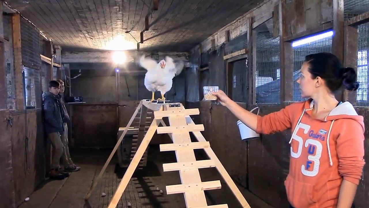 Chicken Training 101 (how to train chickens to do cool things)