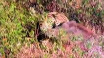 Leopard vs Wild Boar - Leopard Hunting Wild Boar - Wild Animal Fights 2015