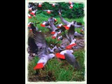 A Tribute to the Durban 700 - The massacre of wild African Grey Parrots by wealthy South Africans