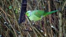 Le resto du Cœur pour oiseaux , perruches afro asiatique ... Dur dur l' hiver ..