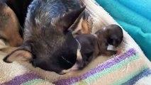 Jones Chihuahuas CKC Reg'd Female Chihuahua Sara's Pups Birth Day June13, 2014