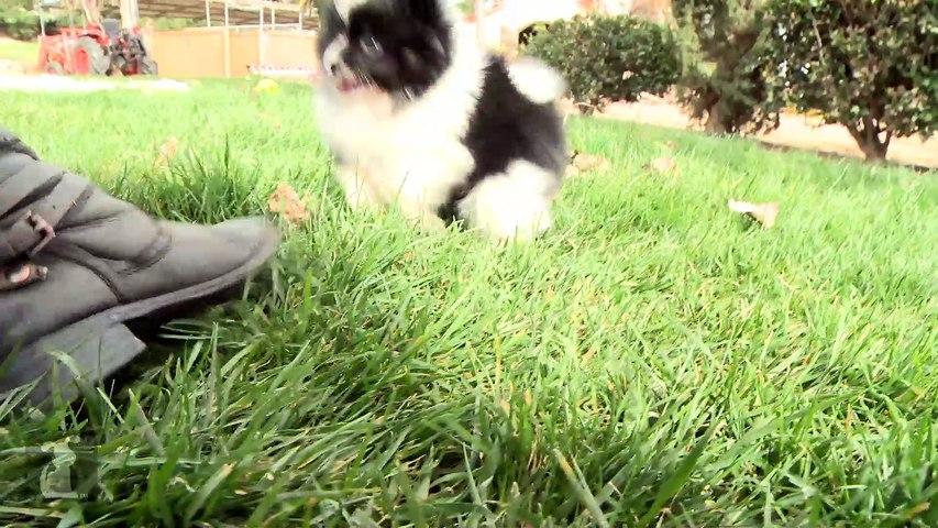 Fluffy Pomeranian Puppies Are Pure Magic