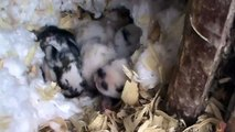 Cute Holland Lop Baby Bunnies in their nest at One Week Old