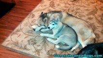 Siberian Husky Puppy Cuddle Buddies *Snow Dog Short #9*