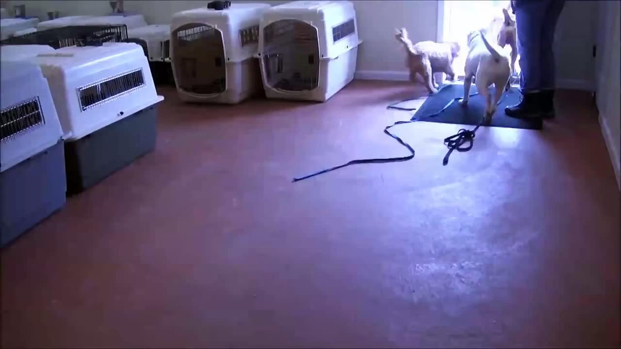 Rottweiler Treinando Obediencia Basica