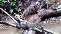 Brown-throated Three-toed Sloth: rainforest bath and quick escape