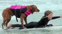 Surf dog Ricochet - Adaptive surfing highlights raw footage