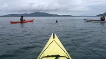 Basking Shark and Sea Kayaks, Isle of Barra, Outer Hebrides , Scotland