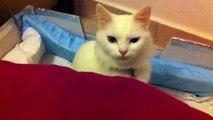 Van kedisi Minoş ve 8 günlük yavruları (chat rare, turc de Van) turkish Van