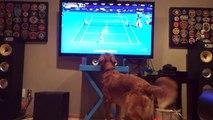 funny animals   Golden Retriever can't get enough of Australian Open tennis