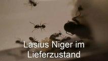 First ant colony / Erste Ameisenkolonie | Lasius Niger