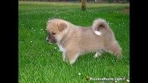 Akita Inu, fotos, caracteristicas y donde comprar o vender perros Akita