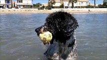 Maya Spanischer Wasserhund, Perro de Agua Espanol, Spanish Water Dog, Gruissan 2010