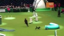 Un chien lors d'un parcours d'agility