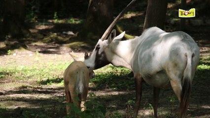 L'Oryx d'Arabie, une réintroduction en bonne voie !