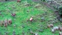 Sako 223 head shooting a feral spiker @ a deer farm, New Zealand