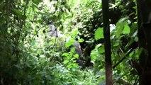 Gorillas in the Virunga Mountains, Rwanda