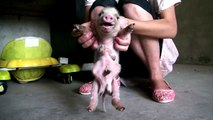 Pig with eight feet and six legs