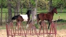 Yearling Pinto Half-Arabian Half-American Paint Horse Gelding - Khiowa Painted Shai