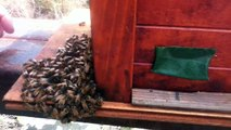 August 5, 2012: Beekeeping Japan secures 1st Japanese bee swarm - Showing a Massive Sumo Drone