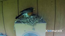 The best Robins Nest video on the Internet (maybe) Feeding Hatchlings babies Male & Female birds