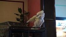 Moon perroquets cacatoès qui danse 2011